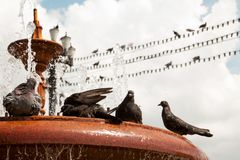 Grupa czarni śliczni gołębie relaksuje w wodnym zakończeniu Obraz Stock