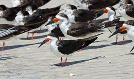Czarni Skimmers przy Bosą plażą Obraz Stock