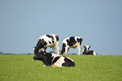Grupa Czarny i biały krowy przeciw niebieskiemu niebu Obrazy Stock