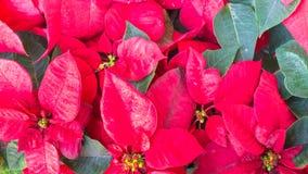 Grupa czerwony poinsecja kwiatu euforbii pulcherrima Zdjęcia Stock