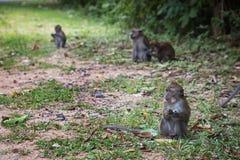 Grupa Długoogonkowe makak małpy w dzikim, brać na Langkawi wyspie, Malezja fotografia stock