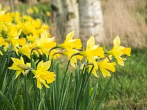 Grupa daffodils lasem zdjęcie royalty free