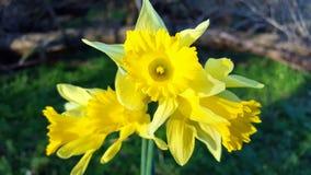 Grupa daffodils w kwiacie w lesie podczas wczesnej wiosny Fotografia Stock