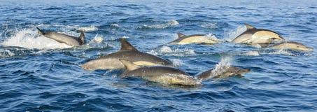 Grupa delfiny, pływający w polowaniu dla ryba i oceanie Zdjęcie Royalty Free
