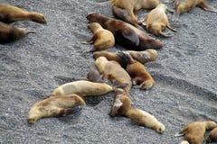 Grupa denni lwy kłama na oceanu brzeg Obrazy Royalty Free