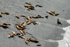 Grupa denni lwy kłama na oceanu brzeg Fotografia Royalty Free