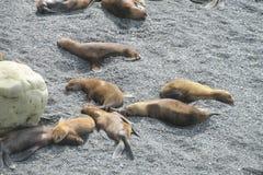 Grupa denni lwy na skalistej plaży Fotografia Stock