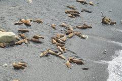 Grupa denni lwy na skalistej plaży Obraz Stock