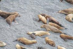 Grupa denni lwy na skalistej plaży Zdjęcie Stock