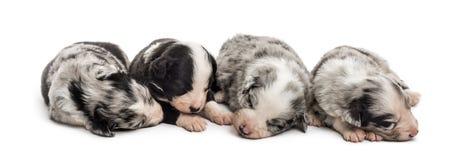 Grupa 21 dnia crossbreed stary szczeniak śpi wpólnie Fotografia Royalty Free