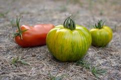 Grupa dojrzewający pomidory w gazonie, czerwieni i zieleni owoc po żniwa, gotowym jeść, pieprzyć i zielenieć, zebra pomidory zdjęcie stock