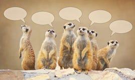 Grupa dopatrywań surricatas z rozmowa bąblami Fotografia Royalty Free