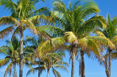 Grupa drzewka palmowe na niebieskim niebie w Hawaje Obrazy Royalty Free
