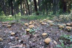 Grupa dużo rozrasta się boletuses r na lasowej podłoga od zielonego mech, jadalny grzybowy Aksamitny Bolete Suillus variegatus Obrazy Royalty Free