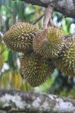 Grupa Durians w lecie Zdjęcia Royalty Free