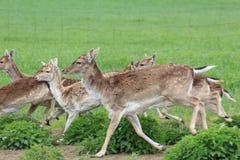 Grupa działający deers - sika dziki/ zdjęcia royalty free