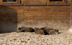 Grupa dzicy knury odpoczywa w zoo Zdjęcie Stock
