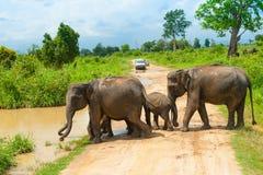 Grupa dzicy słonie Fotografia Royalty Free