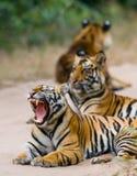 Grupa dzicy tygrysy na drodze indu 17 2010 bandhavgarh bandhavgarth gromadzkich słonia ind madhya marszu park narodowy pradesh pr Fotografia Stock
