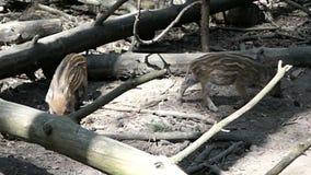 Grupa dziecko dzikiego knura bezpański przez lasowych Squeakers zbiory