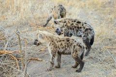 Grupa dziecko hieny obraz royalty free