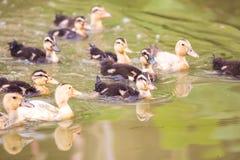Grupa dziecko kaczki dopłynięcie na wodzie Fotografia Stock