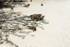 Grupa dzikie iguany w dzikim Obraz Royalty Free