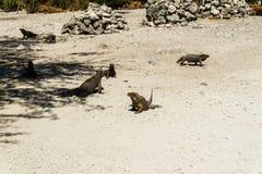 Grupa dzikie iguany w dzikim Obrazy Stock