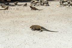 Grupa dzikie iguany w dzikim Zdjęcia Royalty Free