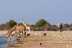Grupa dzikie zwierzęta blisko waterhole w Etosha parku narodowym w Namibia, Zdjęcie Stock