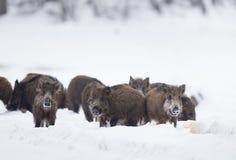 Grupa dzikiego knura prosiaczki na śniegu Zdjęcia Stock