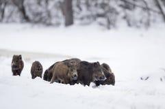 Grupa dzikiego knura prosiaczki na śniegu Obrazy Royalty Free