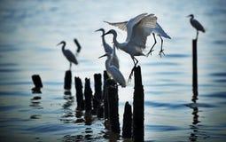 Grupa egrets przy odpoczynkiem Fotografia Royalty Free