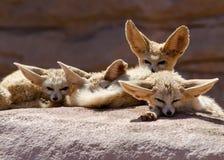Grupa fenków lisy Maroko obrazy stock