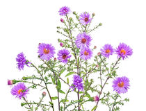 grupa fiołkowi koloru ogródu kwiaty Obrazy Royalty Free