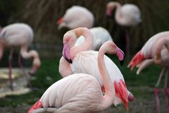 Grupa flamingi w stawie zdjęcie stock