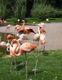 Grupa flamingi w zoo Obrazy Royalty Free