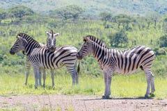 Grupa fotografująca przy Hluhluwe/Imfolozi gry rezerwą w Południowa Afryka zebra Fotografia Royalty Free