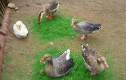 Grupa gąski na eco gospodarstwie rolnym outdoors Obrazy Stock