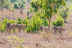Grupa gepard w łowieckiej pozyci Obraz Royalty Free