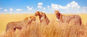 Grupa gepardy w Afrykańskiej sawannie Afryka, Tanzania, Serengeti park narodowy obraz stock