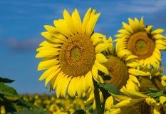 Grupa Gigantyczni słoneczniki i niebieskie nieba obrazy royalty free