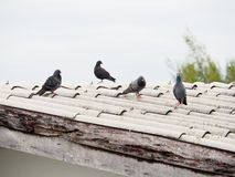 Grupa gołębie na brudnym dachu fotografia stock