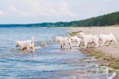Grupa golden retriever szczeniaki przy morzem Zdjęcia Royalty Free