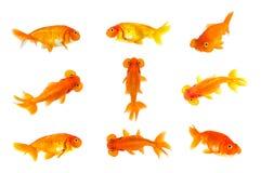 Grupa goldfish i bąbel przyglądamy się goldfish odizolowywającego na białym tle zwierzę pet zdjęcie royalty free