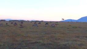 Grupa herbivore zwierzęta w sawannie przy Africa zbiory wideo