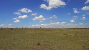 Grupa herbivore zwierzęta w sawannie przy Africa zdjęcie wideo