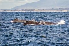 Grupa humpback wieloryby pływa w wodach Monterey półdupki zdjęcia royalty free