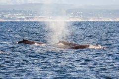 Grupa humpback wieloryby pływa w wodach Monterey półdupki obraz stock