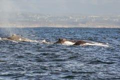Grupa humpback wieloryby pływa w wodach Monterey półdupki zdjęcie royalty free